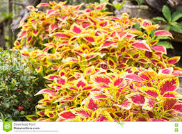 100 Fresh Home And Garden Coleus In Or Ornamental Plant Colorful