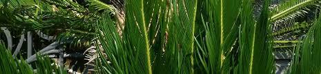 cultiver un palmier en pot gamm vert