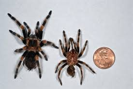 Do Tarantulas Shed Their Legs by Uncategorized Things Biological Page 20
