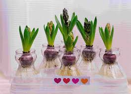 image detail for hyacinths and paperwhites pham