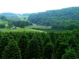 Fraser Fir Christmas Trees Nc by Greene Tree Farm Boone Nc Choose And Cut Christmas Trees Photos