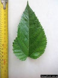 Leaf Of The Dwarf Mulberry Black