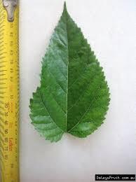 Leaf Of The Dwarf Mulberry Black