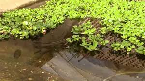Catching A Tilapia Fish At The Garden Pool - YouTube Backyard Tilapia Fish Farm August 192011 Update Youtube Fish Farming How To Make It Profitable For Small Families Checking Size Backyard Catfish To Start A Homestead Or Commercial Tilapia In Earthen Pond 2017 Part 1 Preparation And Views Of Wai Opae Tide Pools From Every Roo Vrbo Sustainable Dig Raise Bangkhookers Fishing Thailand An Affordable Arapaima In Your Home Worldwide Aquaponics Garden Table Rmbdesign Guide Building A Growing Farm Sale Farming Pinterest