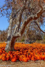 Livermore Pumpkin Patch Farm by Pumpkin Field Carpeting The Ground Around The Trees At Joan U0027s Farm