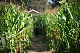 Best Pumpkin Patch Near Roseville Ca by Best Corn Mazes Near Sacramento Cbs13 Cbs Sacramento