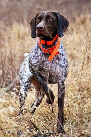 Best Hunting Dogs That Dont Shed by Adventures Of A Gsp Hunting Dog Hunting Dog Photography Tips