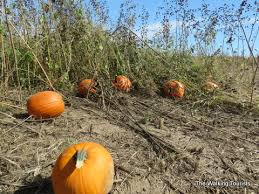 Southern Ohio Pumpkin Patches by Gourd For It At Lincoln U0027s Jk U0027s Pumpkin Patch The Walking Tourists