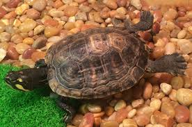 Snapping Turtle Shell Shedding by Redearslider Com View Topic New Turtle Owner And Turtle