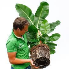 große zimmerpflanzen kaufen 123zimmerpflanzen