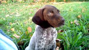 German Wirehaired Pointer Shedding by German Shorthaired Pointer Puppy Being Cute Youtube