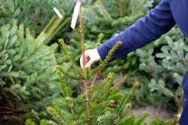 Popular Christmas Tree Species by Considerations For A Living Christmas Tree