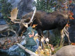 Moose Shed Antler Forums by Any Moose Hunters Here