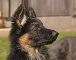 Do Black And Tan Coonhounds Shed by Should You Get A German Shepherd Puppy 11 Things To Know U2013 Doggerel