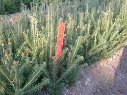 Christmas Tree Seedlings Wholesale by Find Plants Wholesale Nursery Supplies U0026 Plant Growers In Oregon