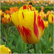 washington tulip bulbs for sale buy tulip bulbs below wholesale