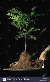 100 Pau Brazil PAUBRASIL TREE Seedling Caesalpinia Echinata On Spade