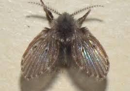 Little Flies In Bathroom Drain by Bathroom Flies That Look Like Little Moths Colonial Pest Control