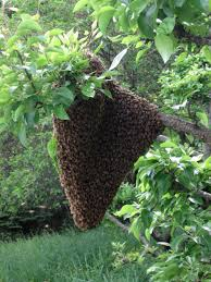Bee Swarm Readiness-Gather Your