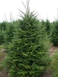 Types Of Christmas Trees To Plant by Best 25 Types Of Fir Trees Ideas On Pinterest Types Of Pine