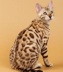 191 best Bengal cats images on Pinterest