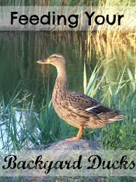 Feeding Your Backyard Ducks - The Cape Coop Read The Fall 2017 Issue Of Our Big Backyard Metro The Most Stunning Visions Earth Inside Out Magazine Subscription Magshop Ct Outdoor Amazoncom A24503 Play Telescope Toys Games Best 25 Ranger Rick Magazine Ideas On Pinterest Dental Humor Books Archive Bike Subscribe Louisiana Kitchen Culture Moms Heart Easter And Spring Acvities Enter Nature Otography Contest