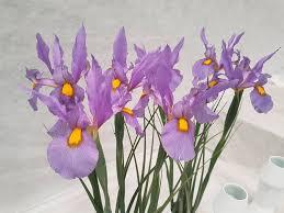iris pink panther dutchgrown