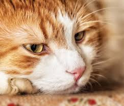 fatty liver cats fatty liver in cats what you need to