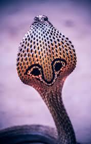 Snake Skin Shedding Lucky by 35 Best Snake Images On Pinterest Snake Skin Animals And Snakes