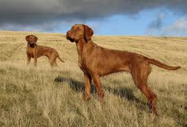 Vizsla Dog Breed Shedding by 15 Interesting Wirehaired Vizsla Dog Care Facts