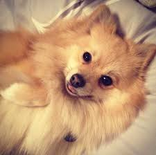 Excessive Hair Shedding In Dogs by Alopecia In Pomeranians Pommy Mommy