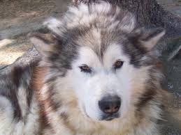 Do Malamutes Shed Hair by About Malamutes By Nichole Royer Spiritrun