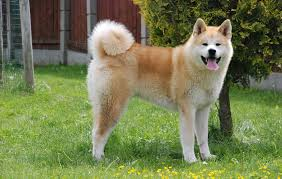 Do Shiba Dogs Shed by Japanese Akita Inu Info Temperament Puppies Pictures
