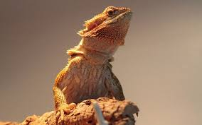 Bearded Dragon Heat Lamp Timer by Bearded Dragon Care For Beginner Breeder Reptilesfamily Com