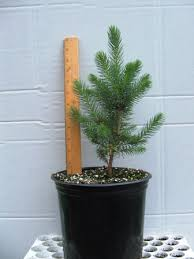 Plantable Christmas Tree Ohio by Potted Live Trees Redrock Farm