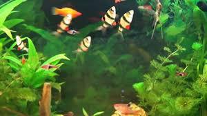 aquarium d eau douce aquarium hd aquarium d eau douce poissons exotiques d eau