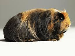 guinea pigs diet and vitamin c requirements