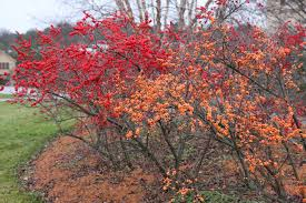 Winterberry Christmas Tree Farm winterberry the nature of delaware