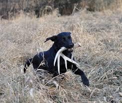 Shed Hunting Utah 2017 by Guide To Shed Hunting With Dogs Game U0026 Fish