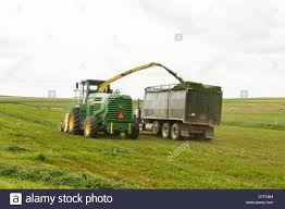 100 Silage Trucks Alfalfa Is Picked Up Shredded For Silage And Transfered Into A