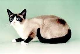 snowshoe cat snowshoe jpg