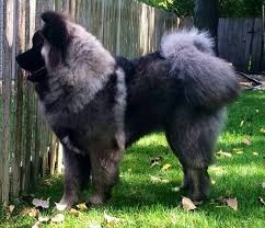 do haired akitas shed 184 best akita images on akita american