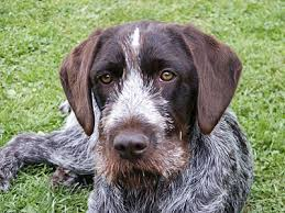 Griffon German Wirehaired Pointer Shedding by Cesky Fousek Information Characteristics Facts Names