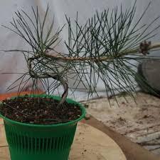 la culture et la formation des pins en bonsaï
