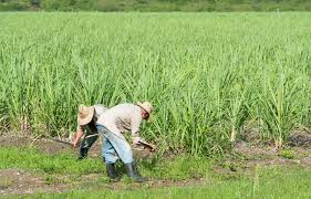 Download Cuban Field Farmer On The Sugarcane During Harvest In Santa Clara Cuba