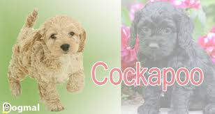 cockapoo characteristics appearance and pictures