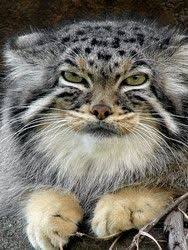 mountain cat 8 best mountain cat images on