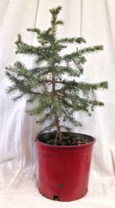 Potted Christmas Tree by Scotch Pines Blue Spruce White Firs Balsam Firs Black Hills