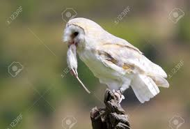 Barn Owl Eating A Small Rodent Stock Photo, Picture And Royalty ... Barn Owl Eating Mouse Sussex Uk Tyto Alba Stock Photo Royalty Bird Of The Month Owl Barn A Free Image 51931121 How To Attract Owls Your Yard 1134 Best Birdsstrigiformesowls Images On Pinterest Wikipedia Facts Pictures Diet Breeding Habitat Behaviour Eating Picture And 1861 Owls Snowy Saw Whets Chick Raptor Conservancy Virginia Baby And Animal