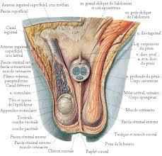interieur corps humain femme le système reproducteur mâle l homme donne sa semence
